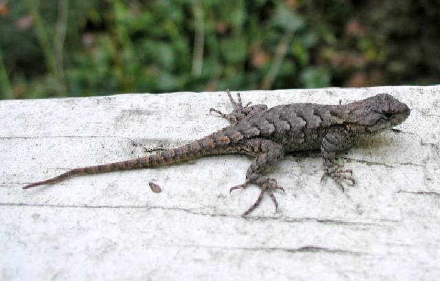 Northern Fence Lizard - Ohio History Central - A product of the